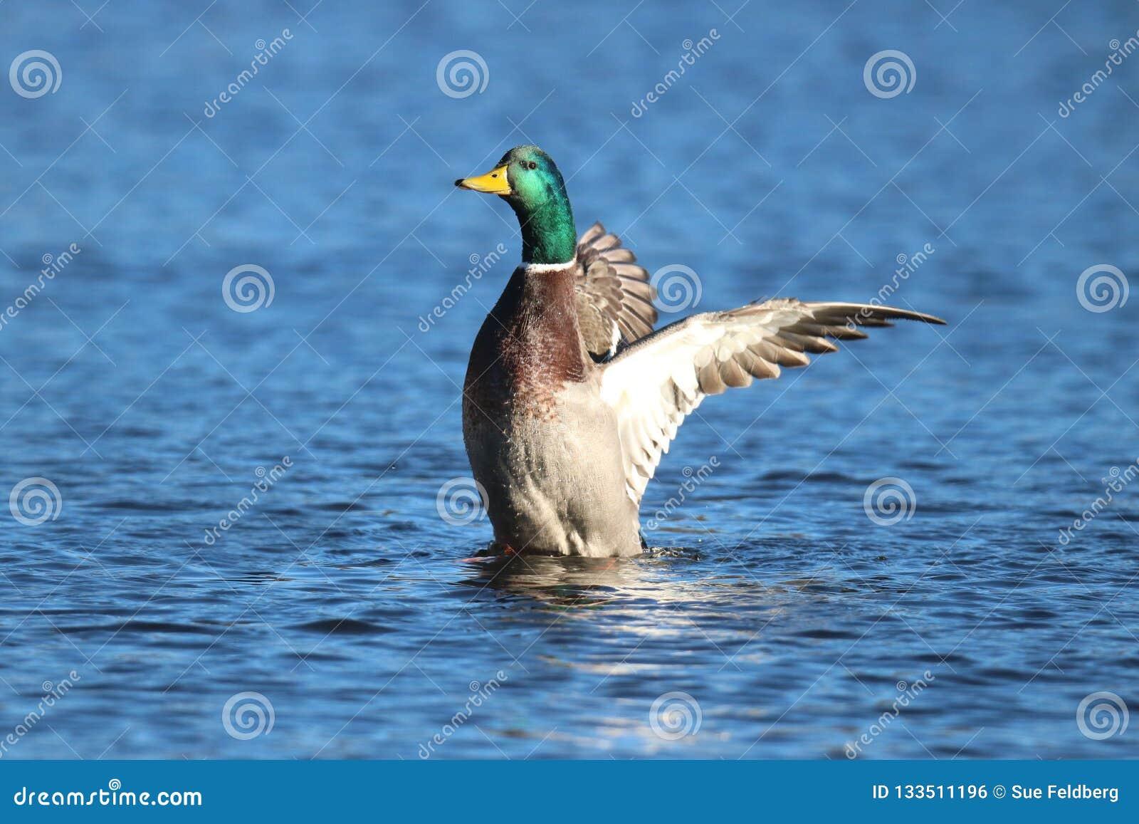 Mallard Duck on the Winter Lake