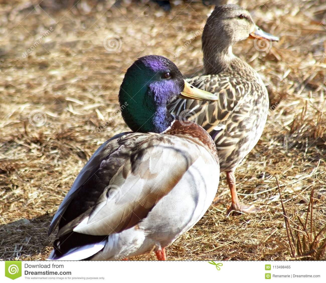 Mallard Ducks Male And Female Drake With Blue Feathered Head In Foreground Brown Hen Is Walking Front