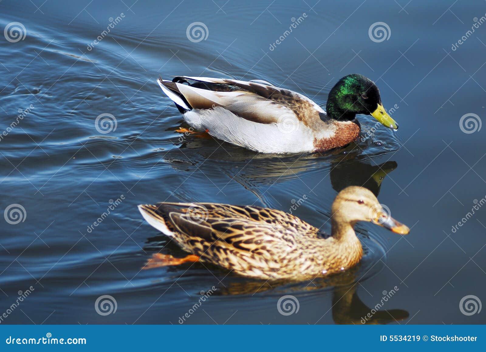 Mallard Ducks Swimming Royalty Free Stock Images - Image ...