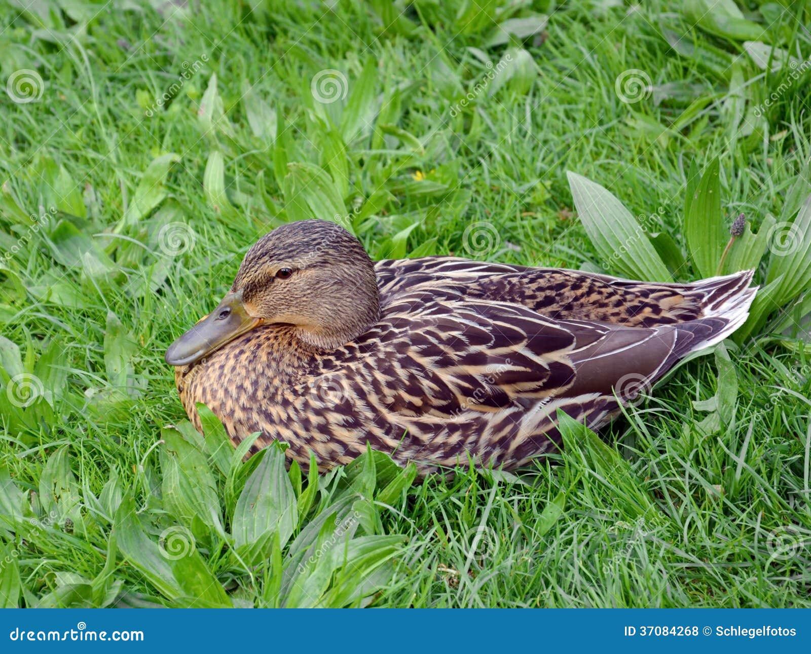 Download Mallard kaczka w naturze zdjęcie stock. Obraz złożonej z woda - 37084268