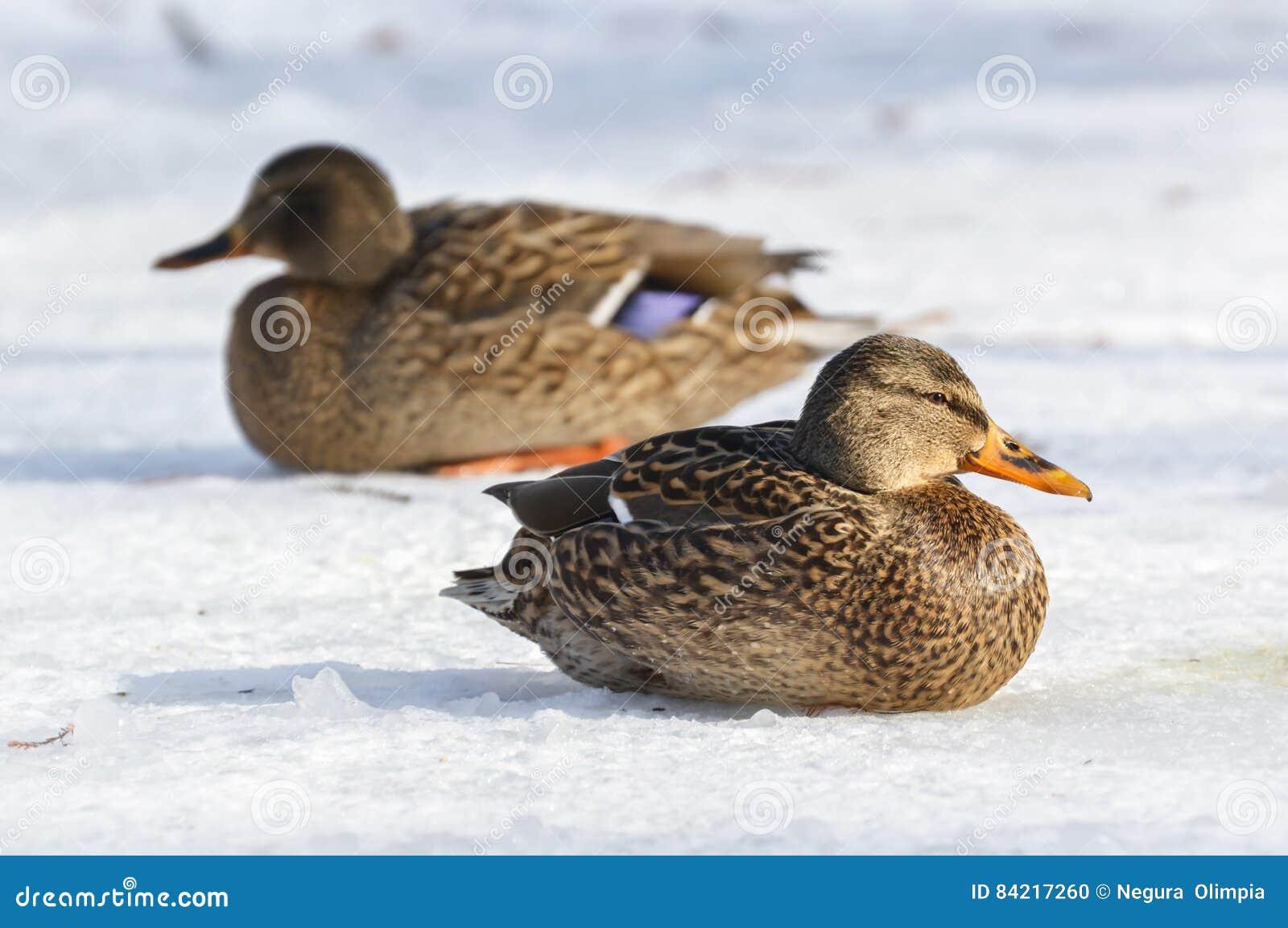 Mallard kaczka w zimie