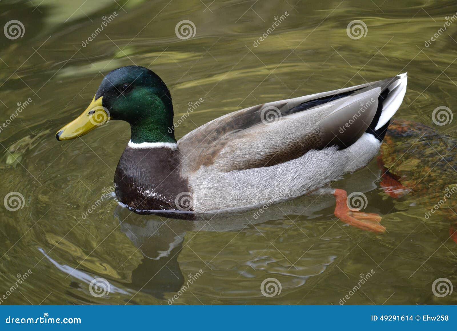 Mallard kaczki dopłynięcie