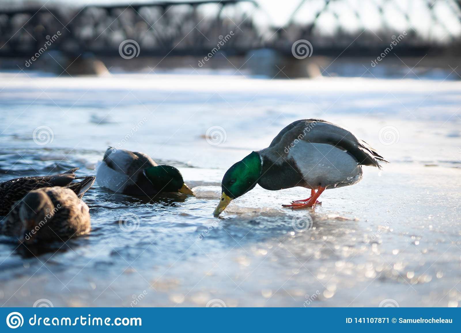 Mallard male duck about to dive in the in the cold water of a frozen river lake or pond in a winter sunset light