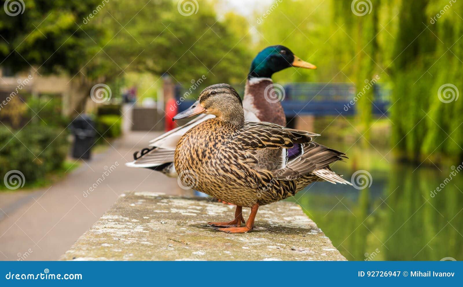 Mallard Male And Female Duck Stock Image