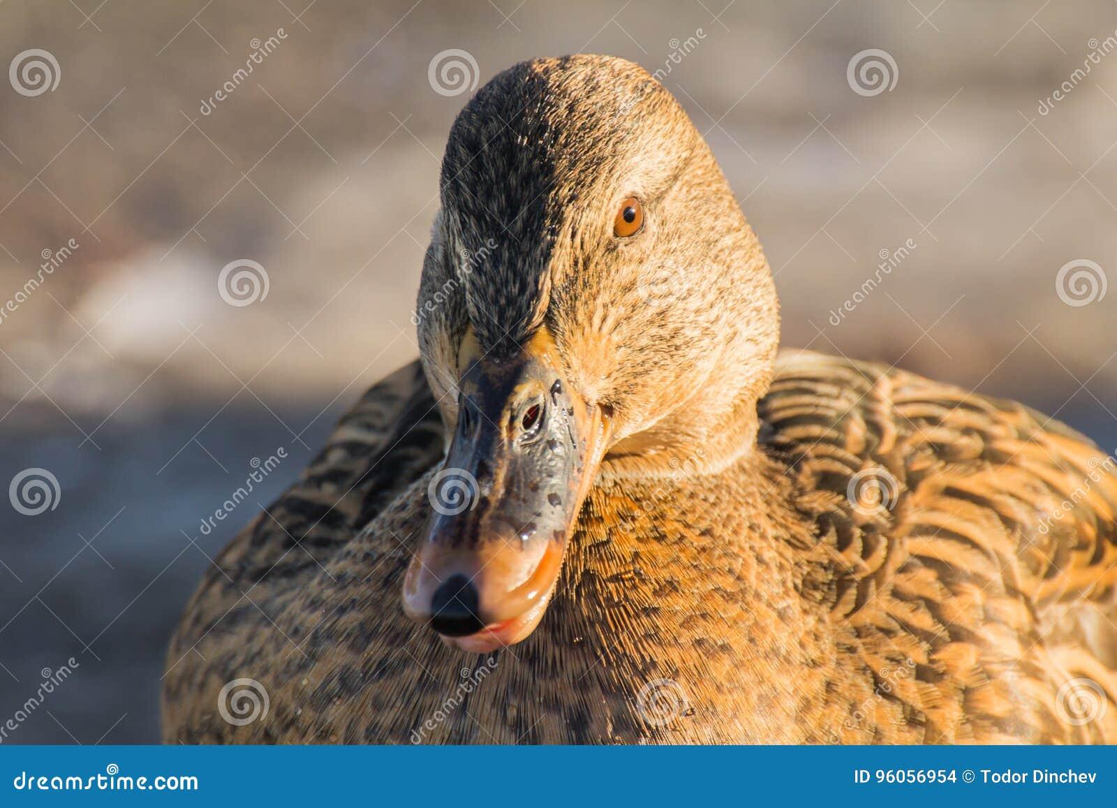 Mallard ou canard sauvage