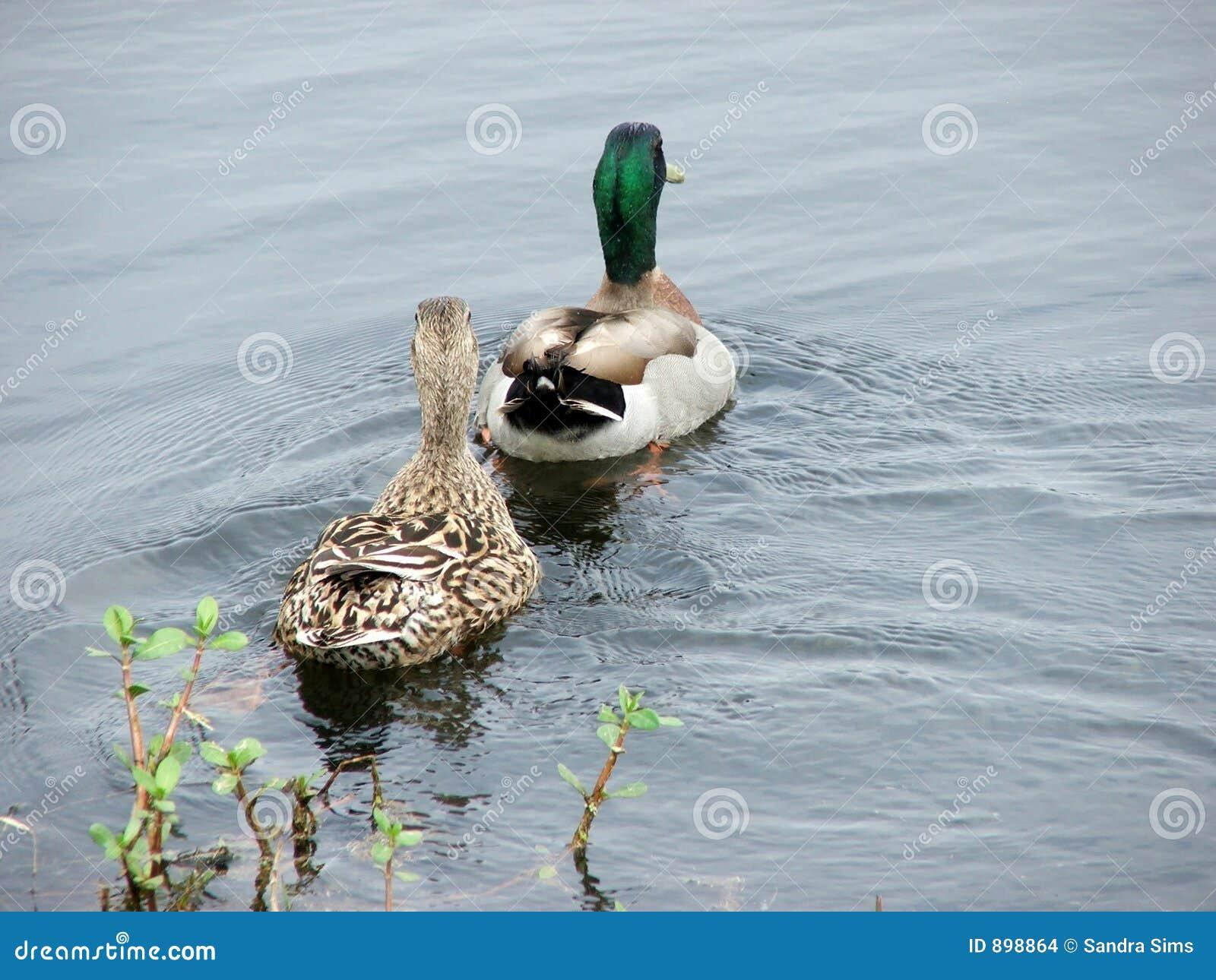 Mallard para kaczki