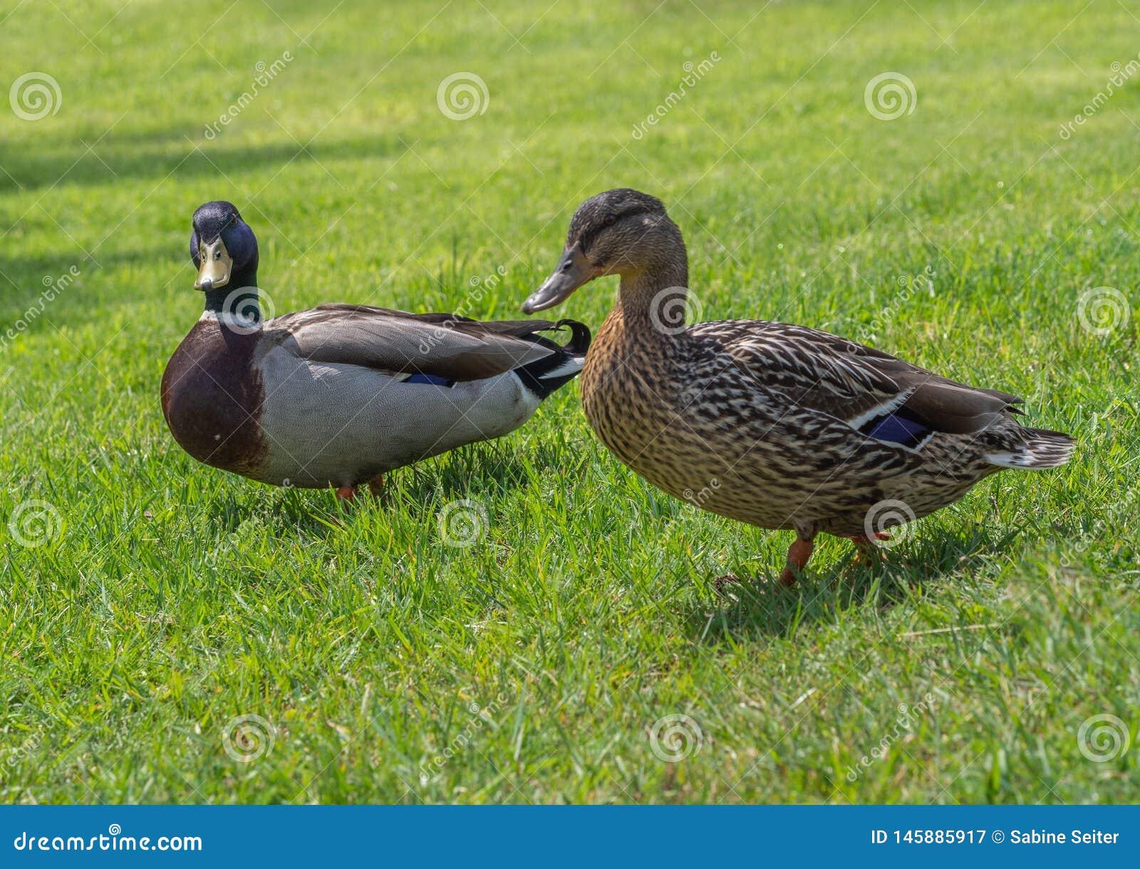 Mallard penche femelle et masculin dans l herbe