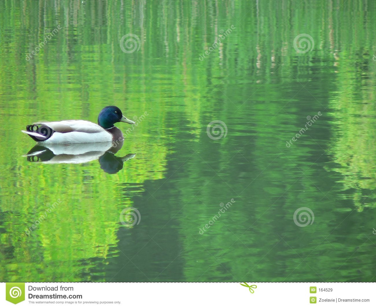 Mallard Reflection