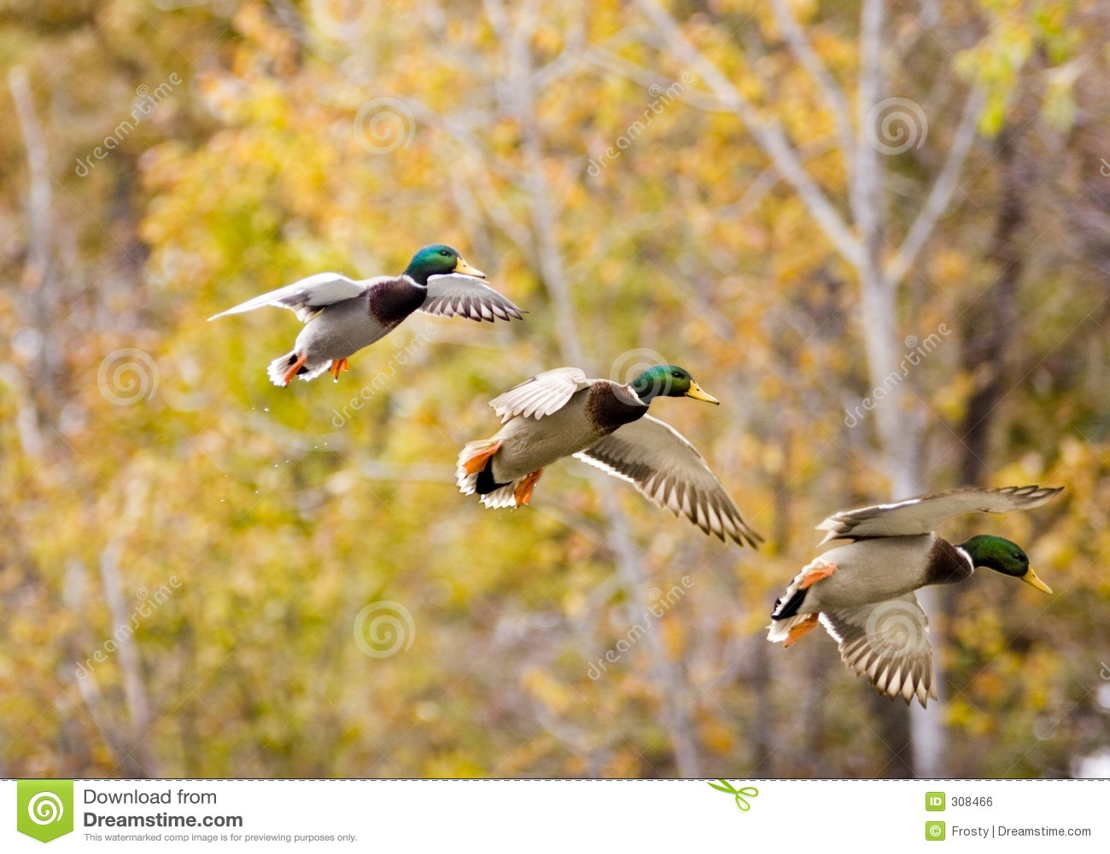 mallard in sequence stock photo image of bird wild