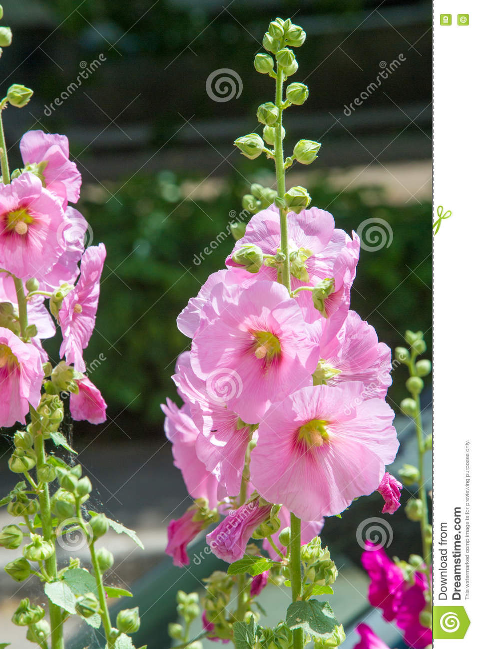 Mallow flowers a herbaceous plant with hairy stems pink or pur royalty free stock photo mightylinksfo