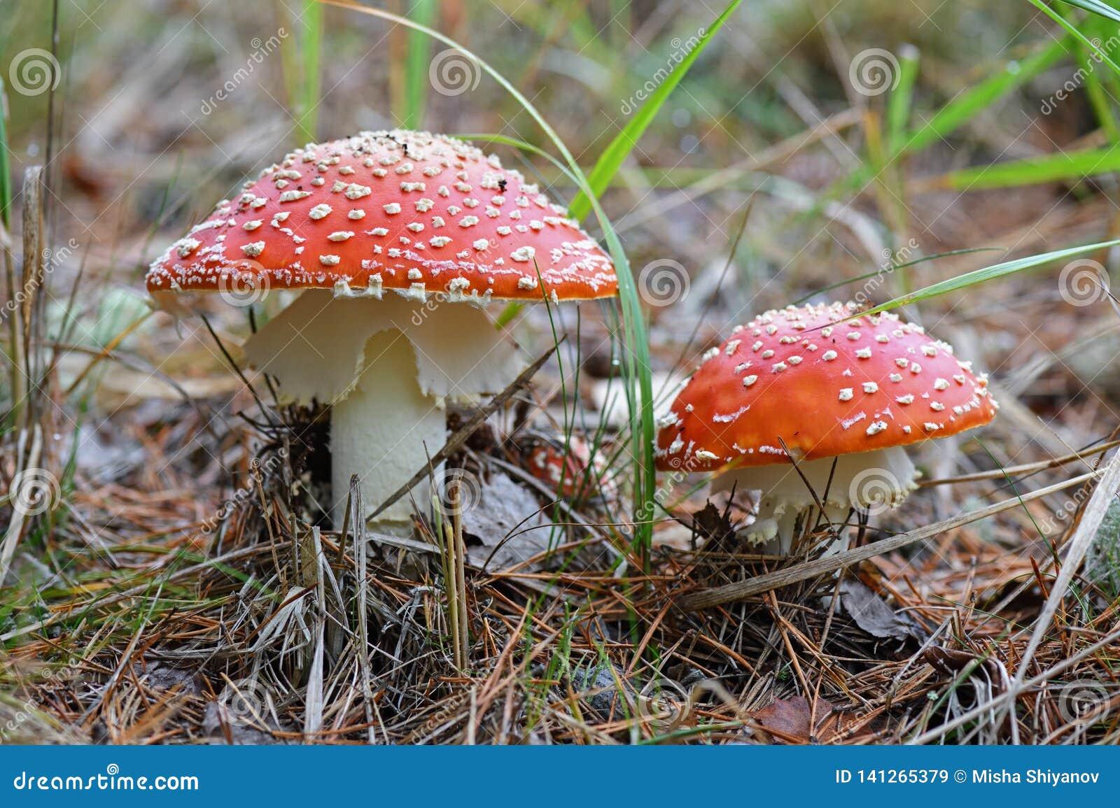 Malownicza komarnicy bedłki pieczarka w lesie, w górę jesienią amanita muscaria grzybów niebezpieczeństw