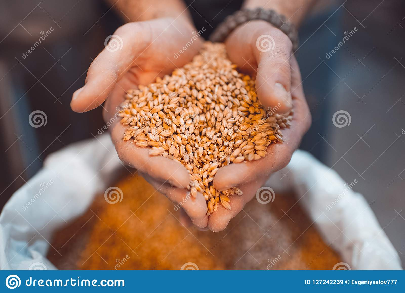 Malt in the hands of the brewer close-up. Holds grain in the pal
