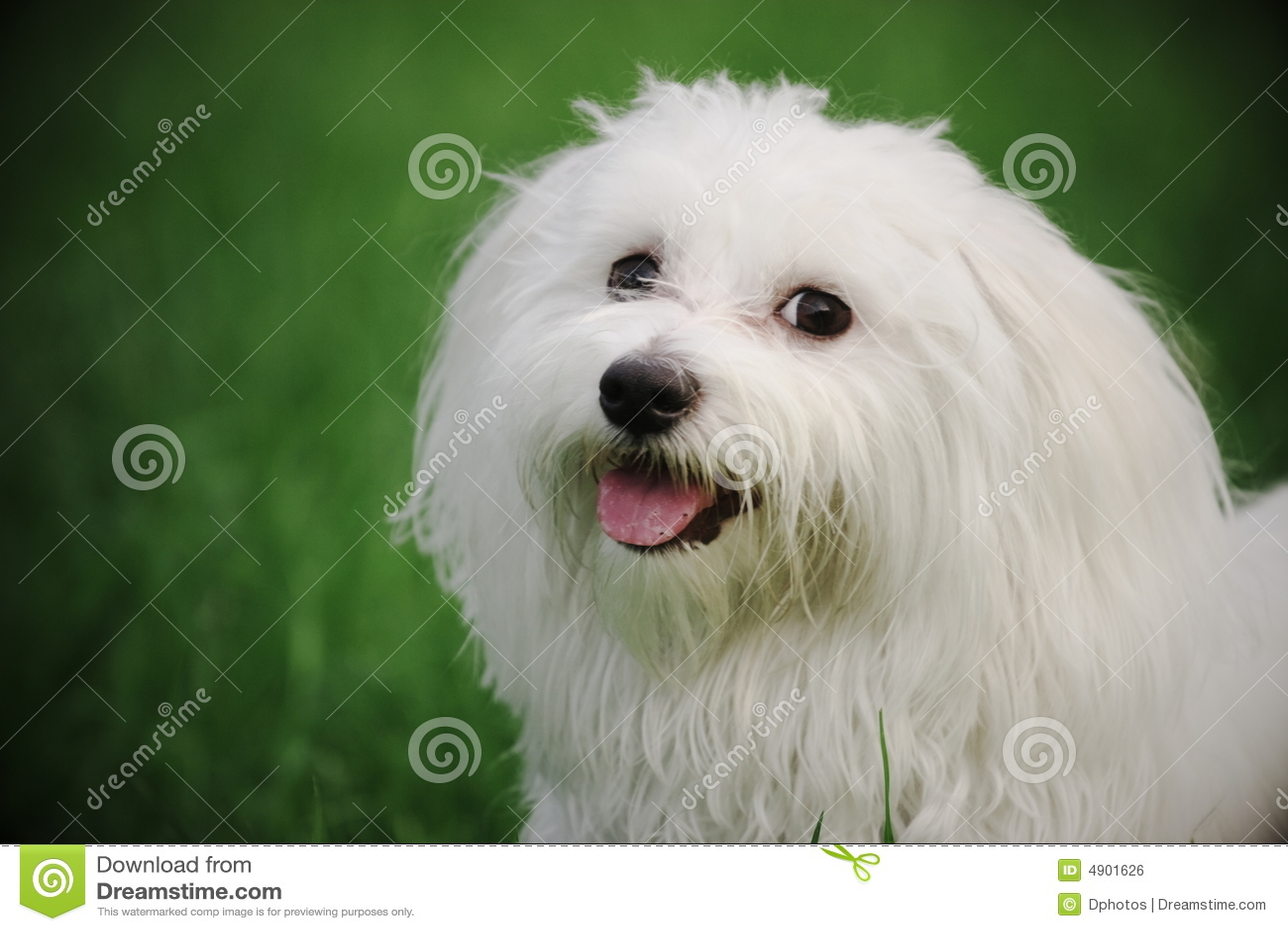 free clipart maltese dog - photo #49