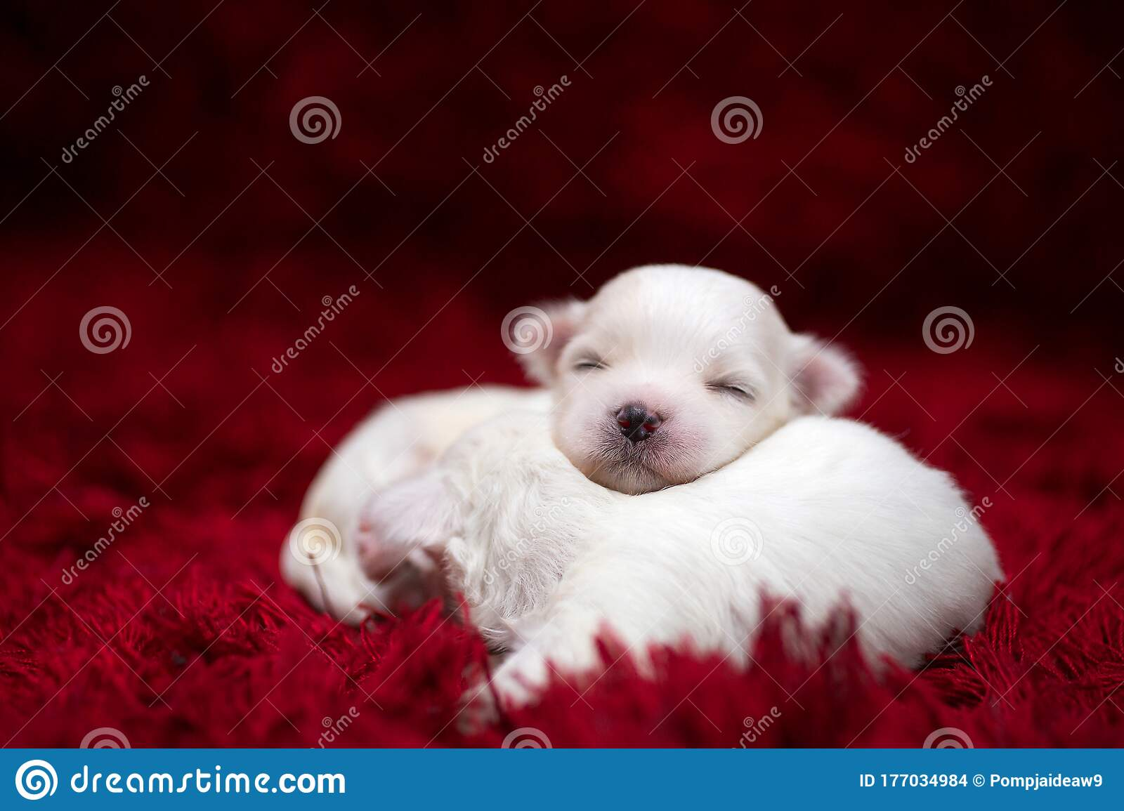 The Maltese Is A Breed Of Dog In The Toy Group Maltese Puppies Are Sleeping On A Bright Red Carpet Stock Photo Image Of Lying Canine 177034984