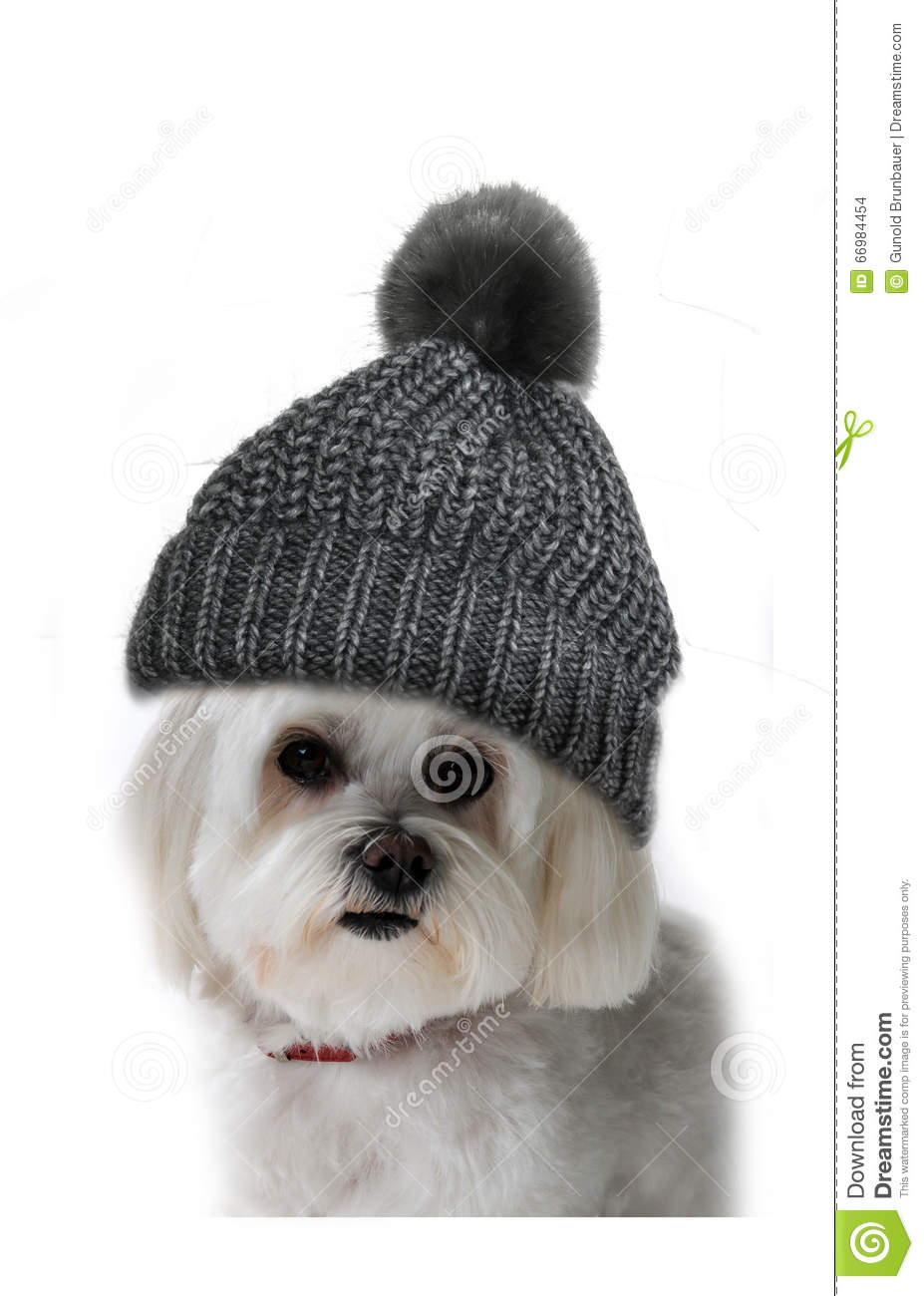 Maltese Dog Knitting Pattern : Maltese Dog With Bobble Hat Stock Photo - Image: 66984454