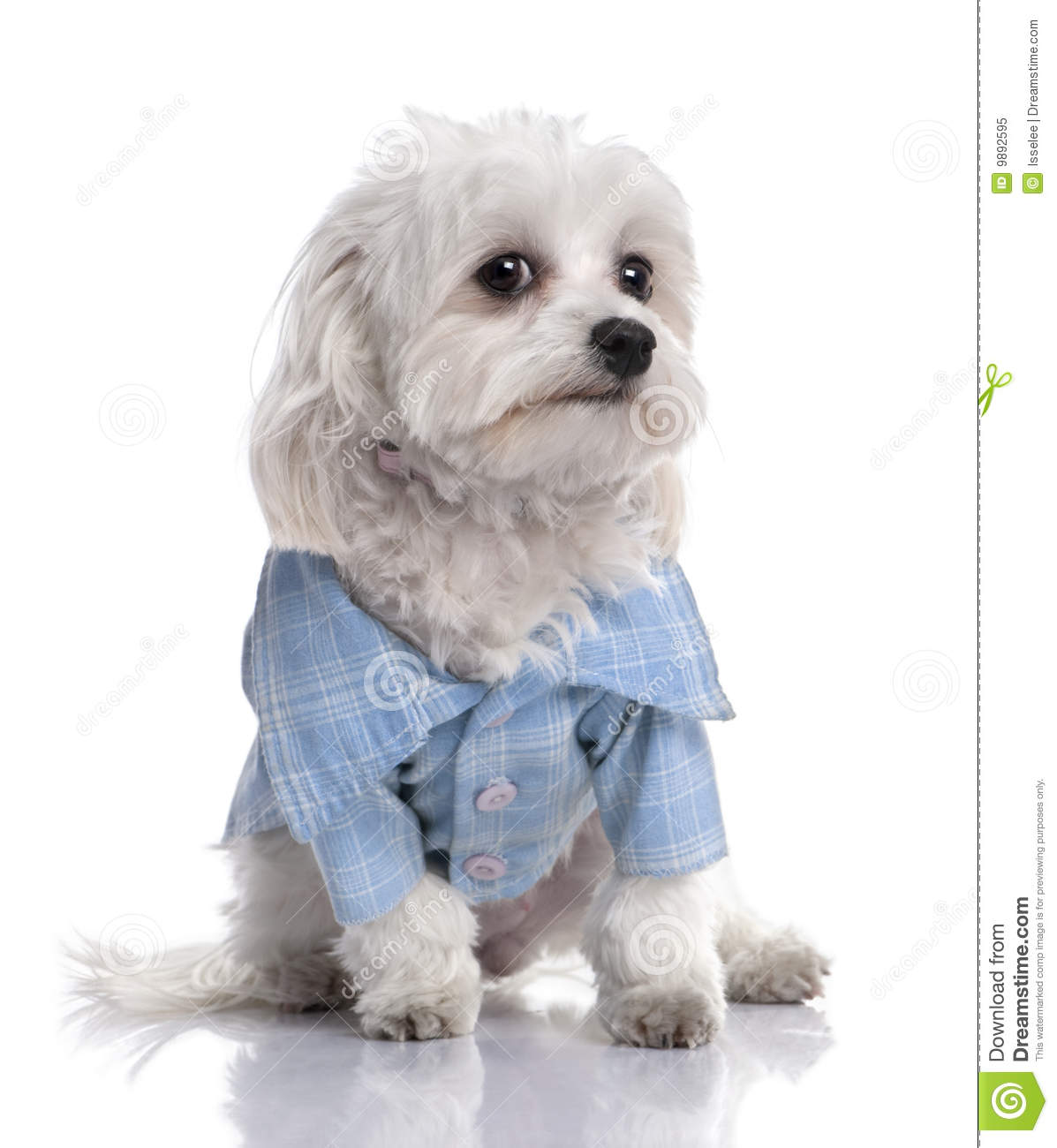 Maltese Dog Dressed Up With A Shirt 17 Months Old Royalty