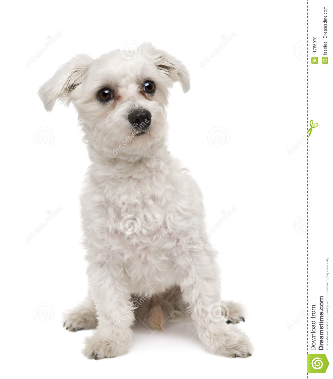 Maltese dog, in front of a white background