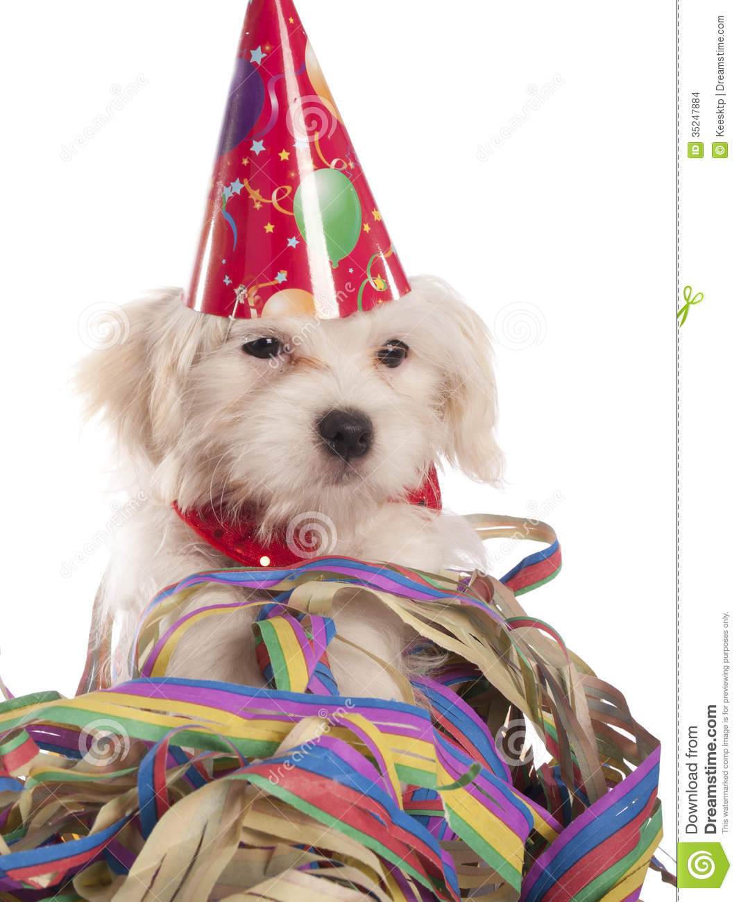 Maltese Dog With Party Hat Stock Images Image 35247884