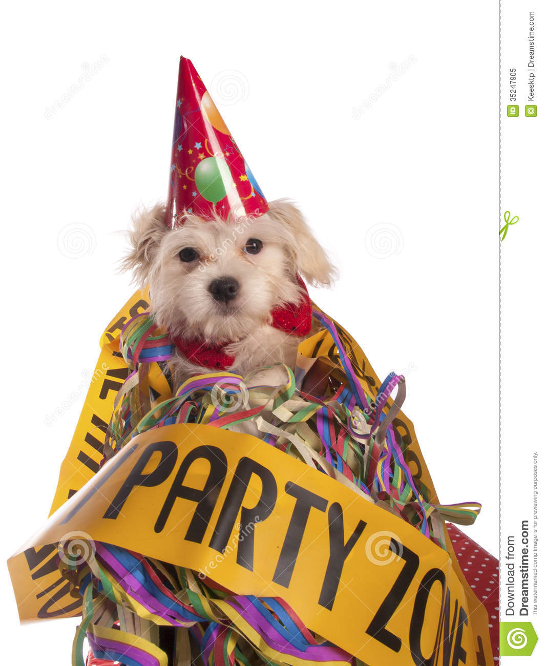 Maltese Dog With Party Hat