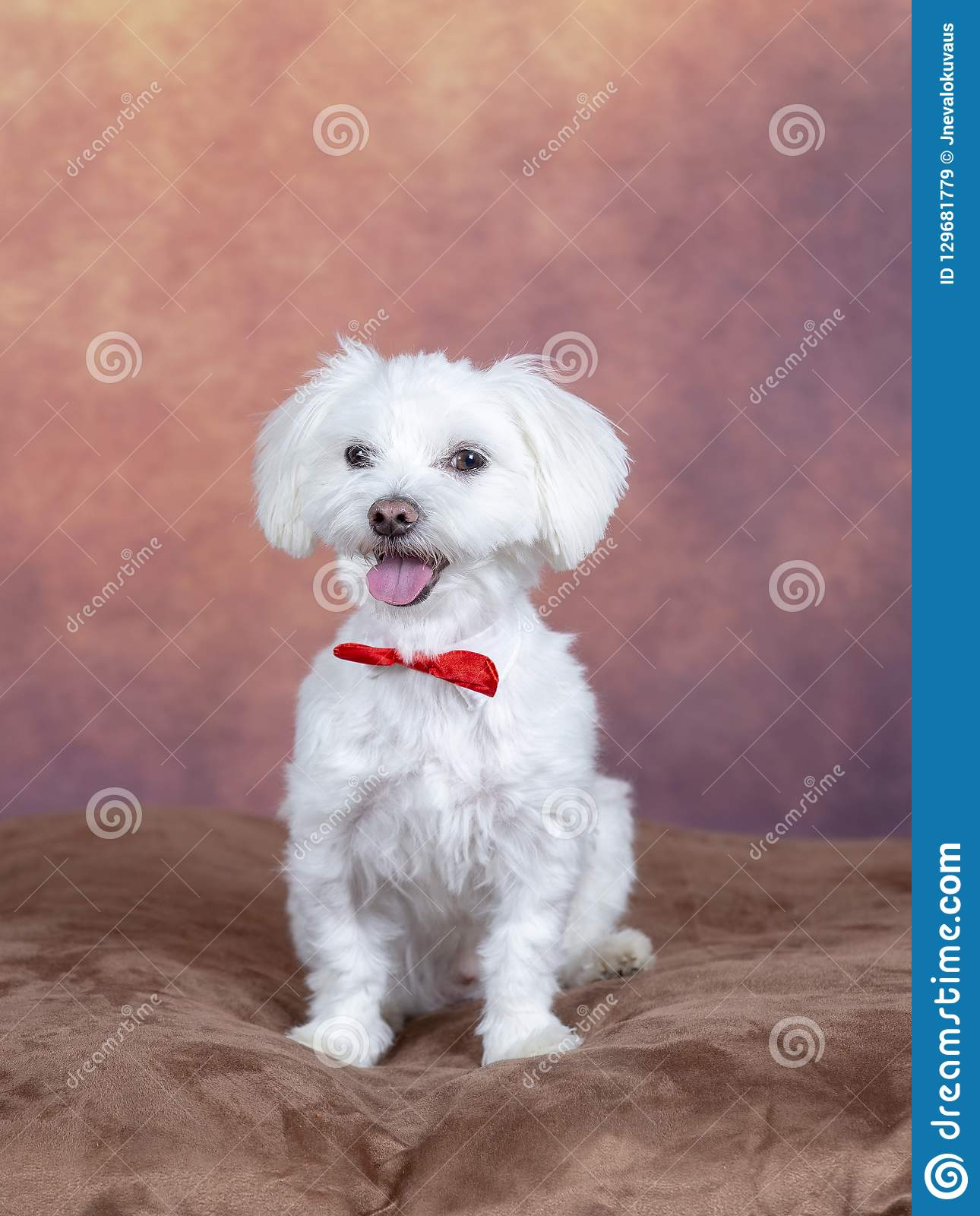 Cute Maltese Dog Wearing A Red Bow Stock Image Image Of Full Indoors 129681779