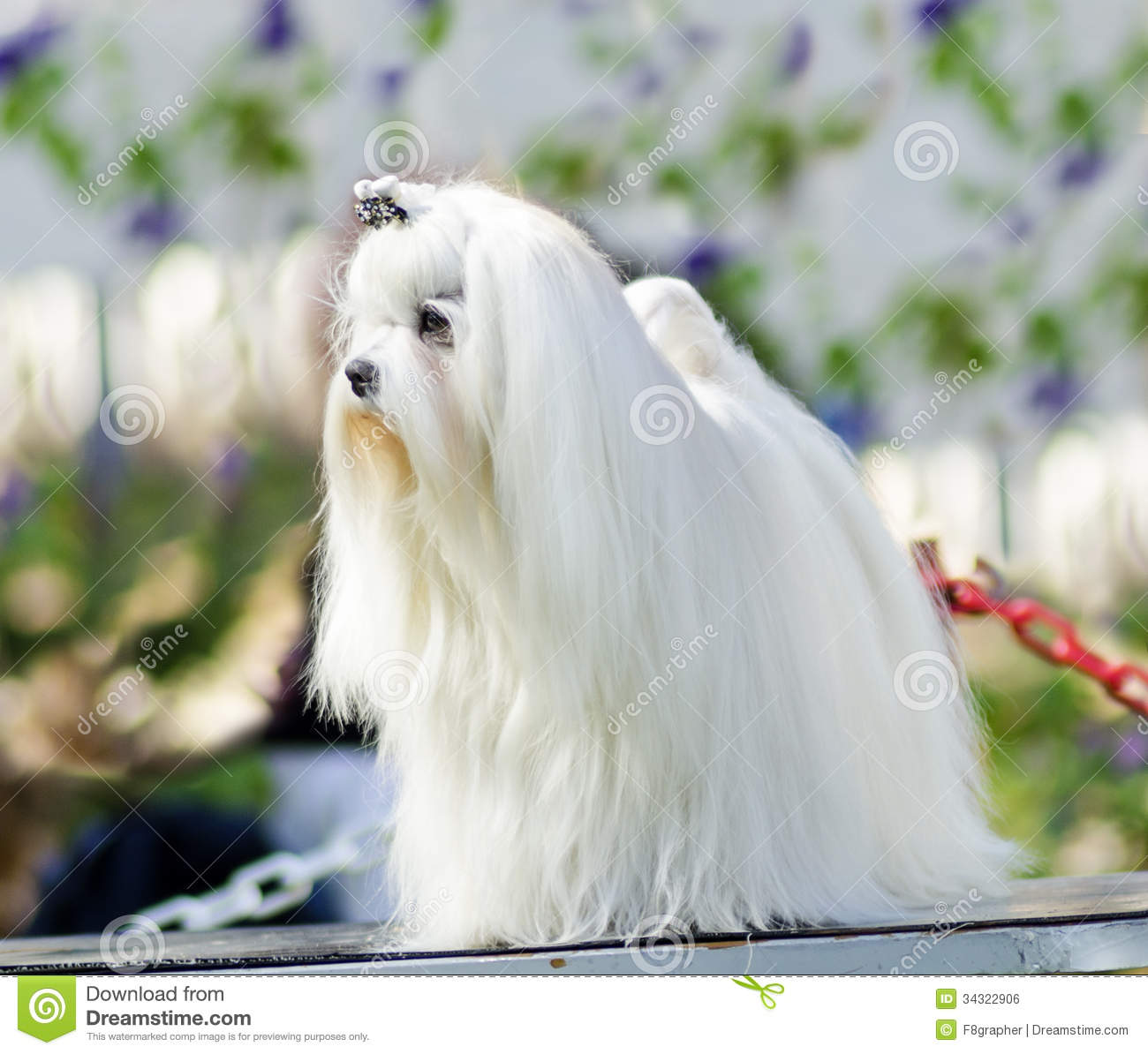 ... long white coat standing. Maltese dogs have silky hair and are