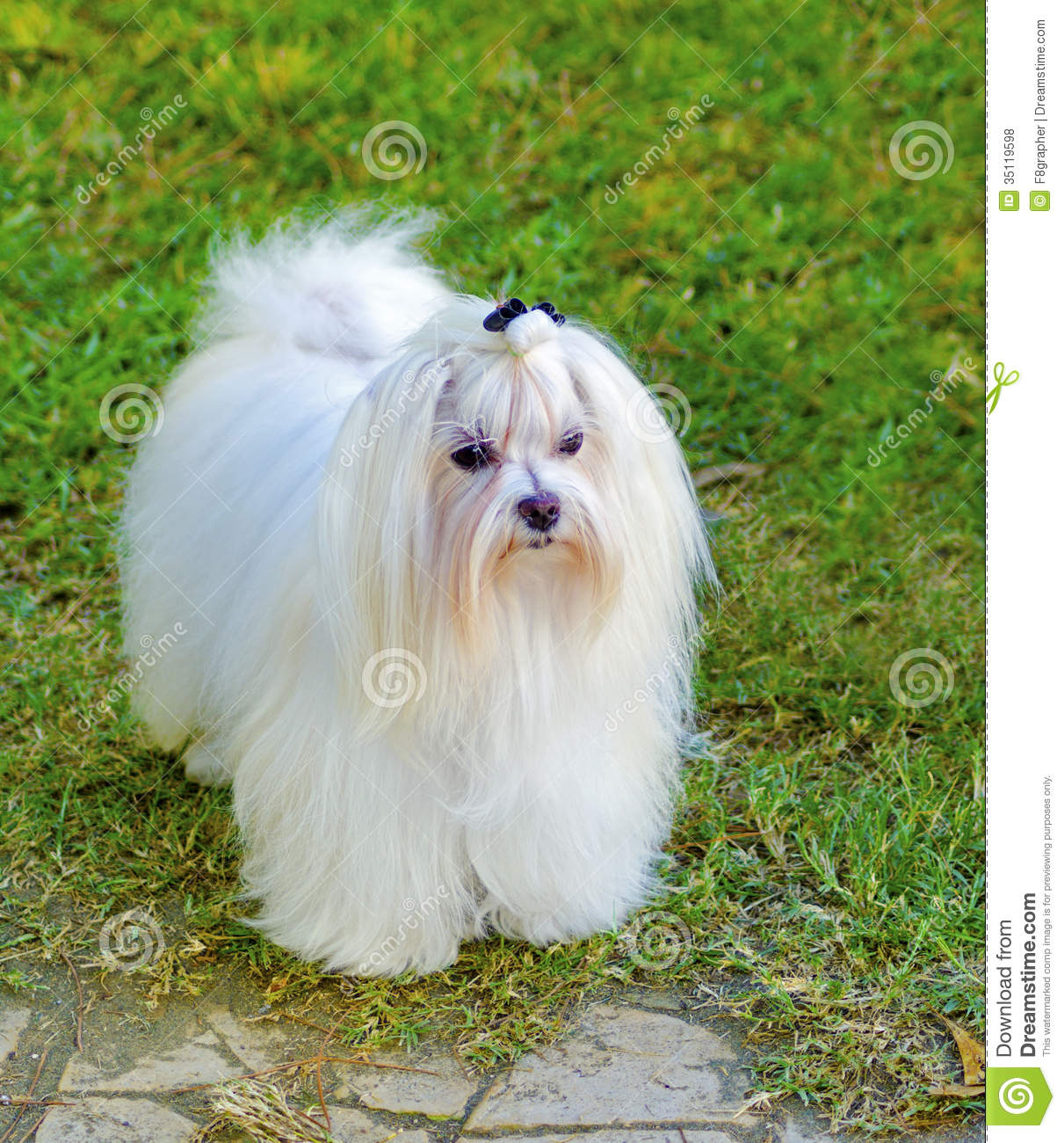 long white coat standing on the lawn. Maltese dogs have silky hair and