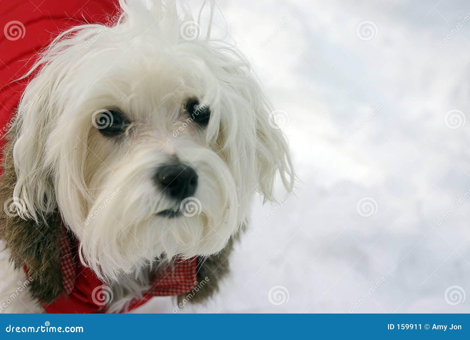 Maltese Dog in Winter Jacket