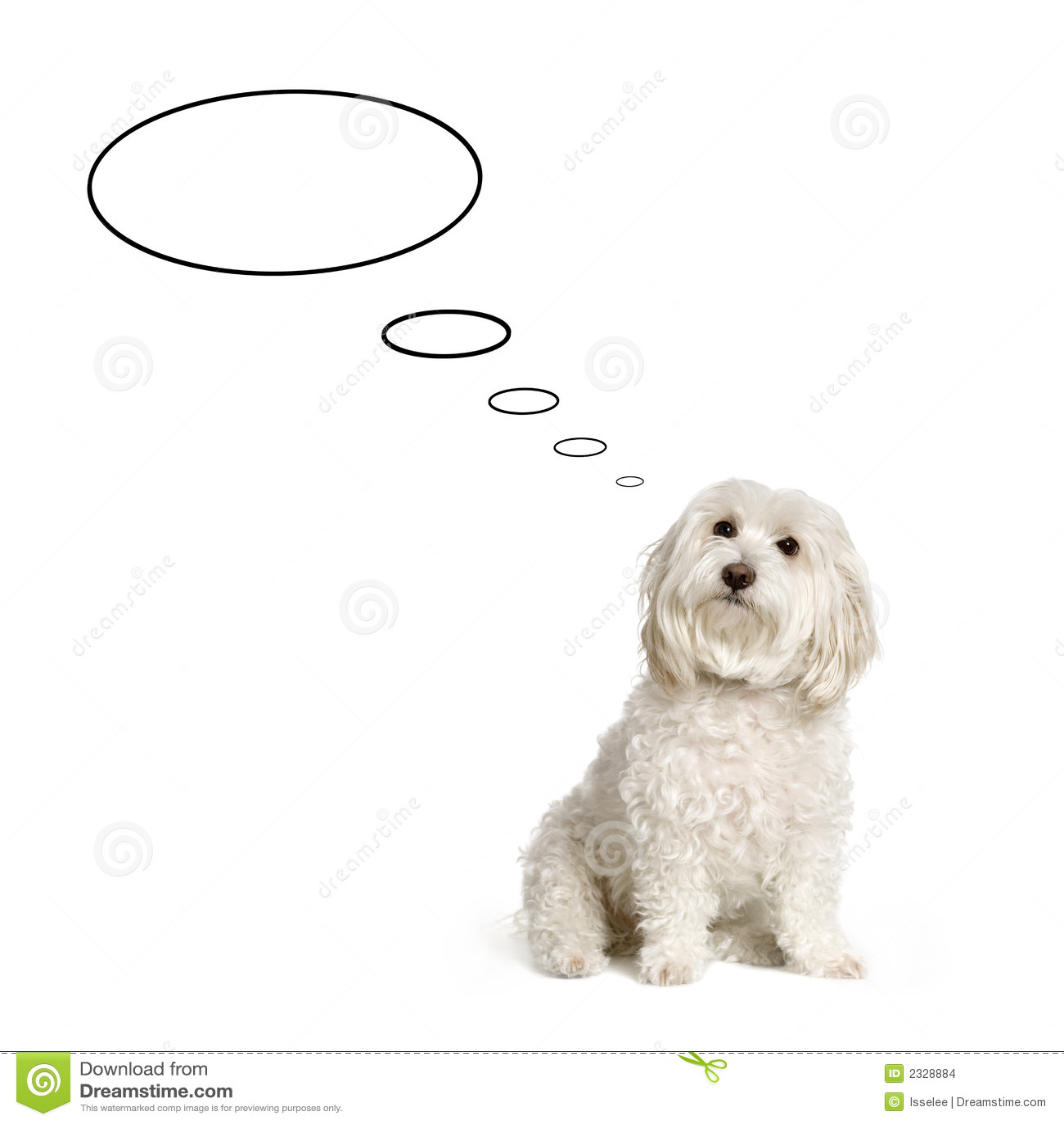 Maltese hond