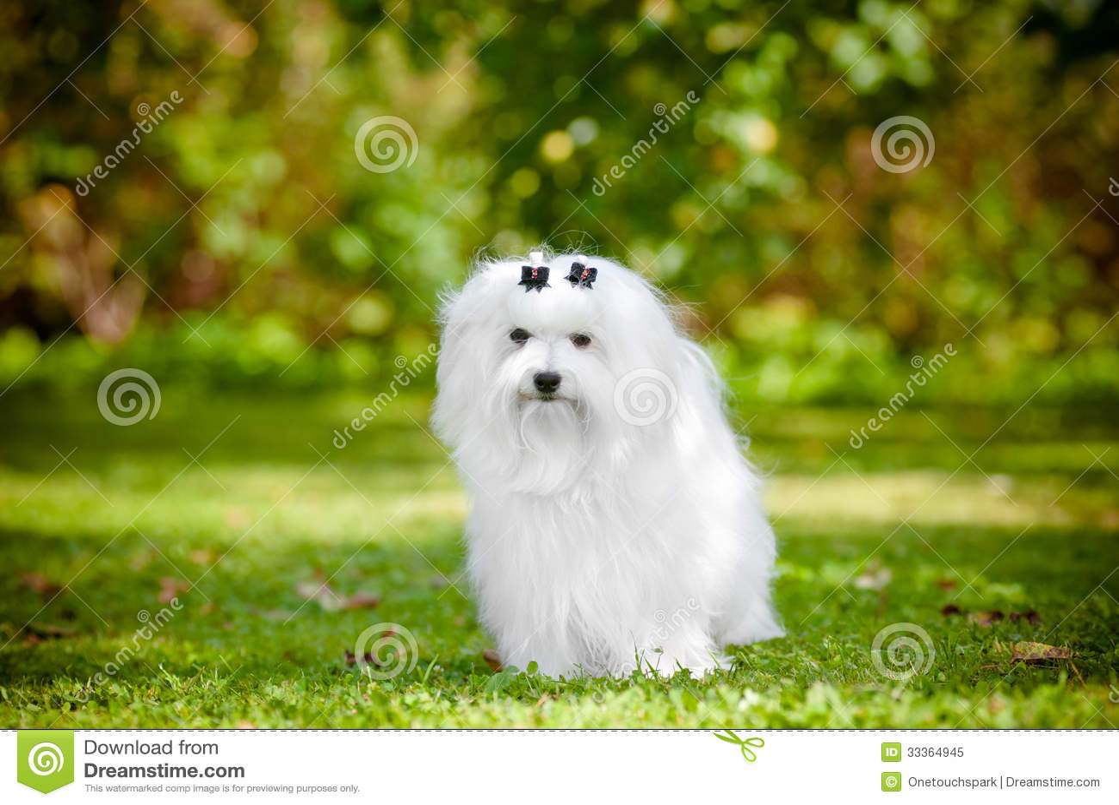 Maltese hond in openlucht