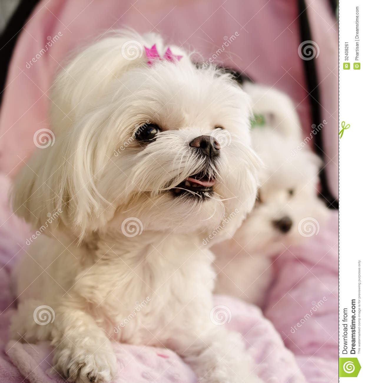 What does a maltese look like