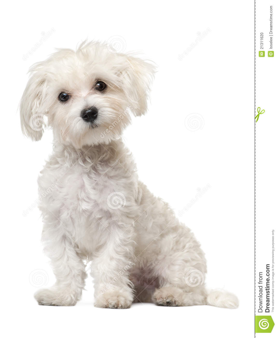 maltese dog clipart - photo #12
