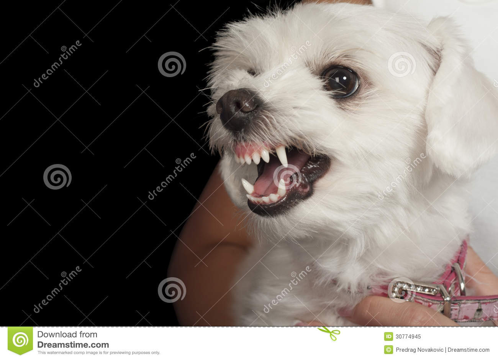 Maltese Puppy Royalty Free Stock Photo - Image: 30774945