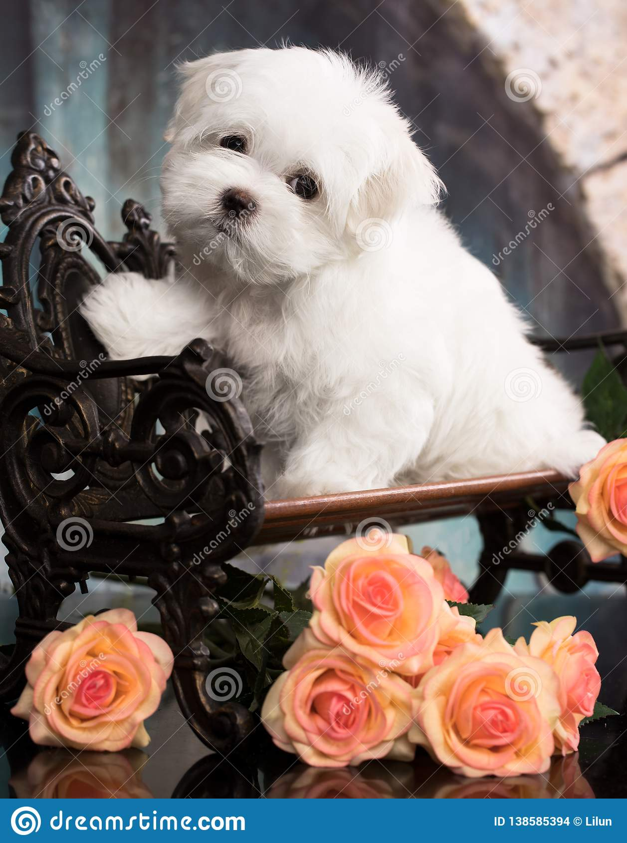 Maltese puppy sits on dark background. Studio shoot.