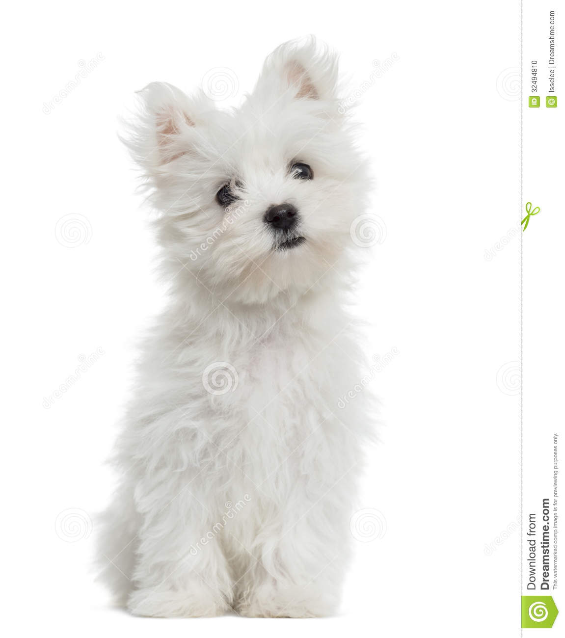 Maltese Puppy Sitting, Looking At The Camera, 2 Months Old Stock Photo ...
