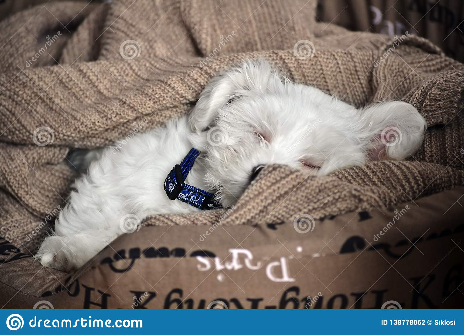 241 Maltese Puppy Sleeping Photos Free Royalty Free Stock Photos From Dreamstime