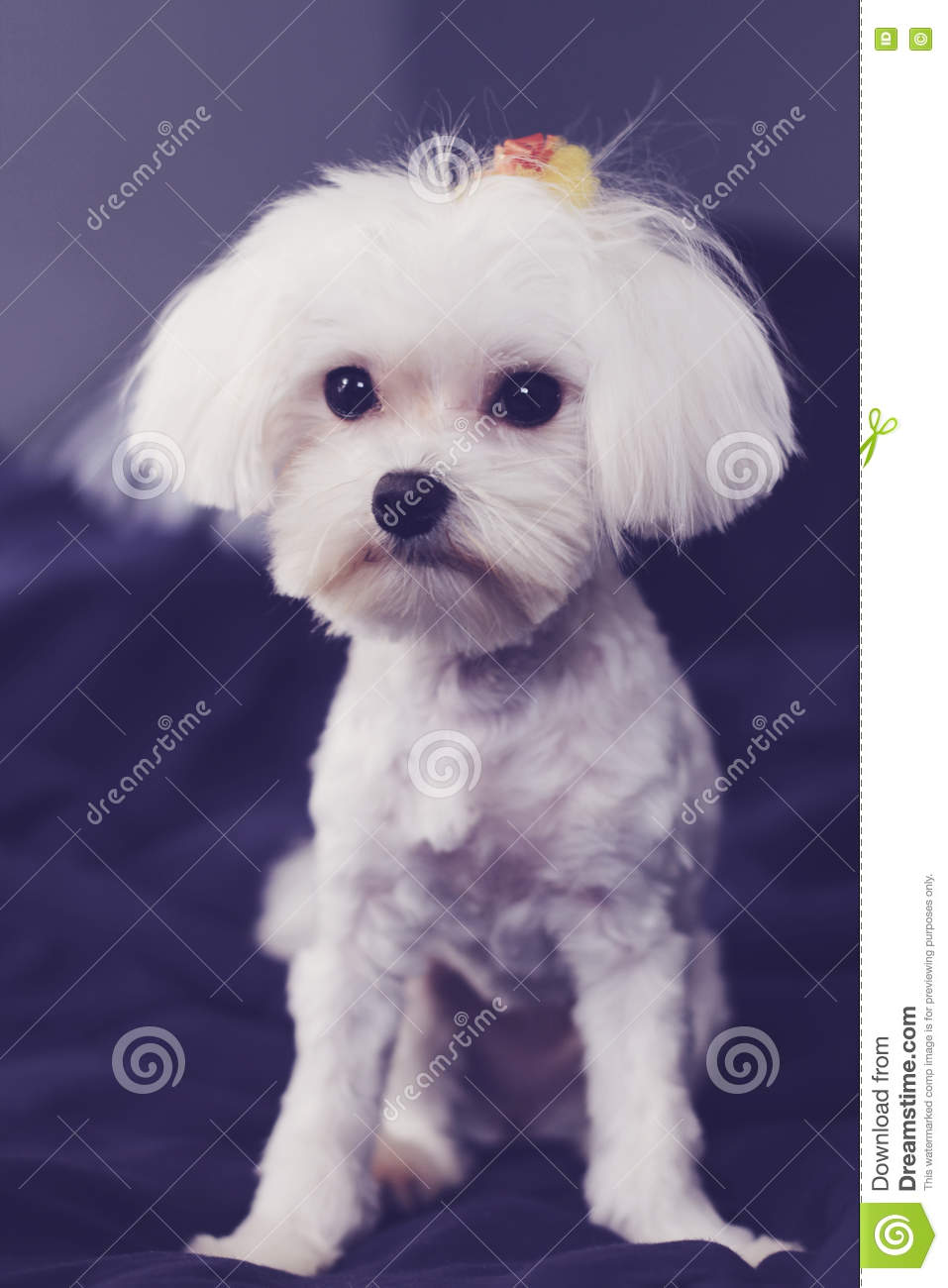 Maltese Shaved Down Puppy Cut Vertical Stock Image Image Of Animal