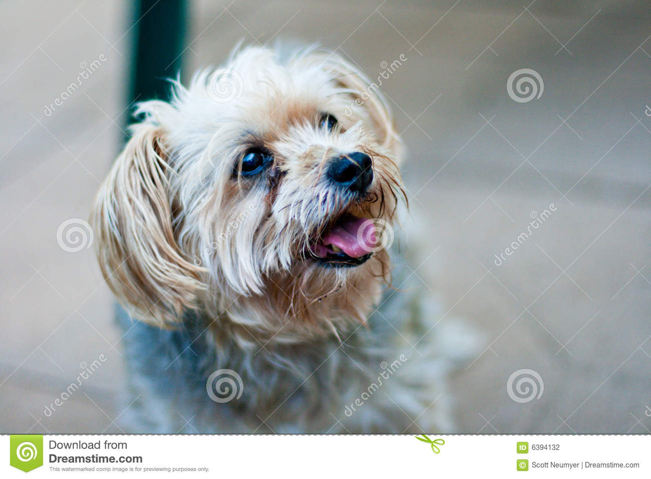 A Maltese Yorkie Mix Breed Dog Looks Off Camera Stock