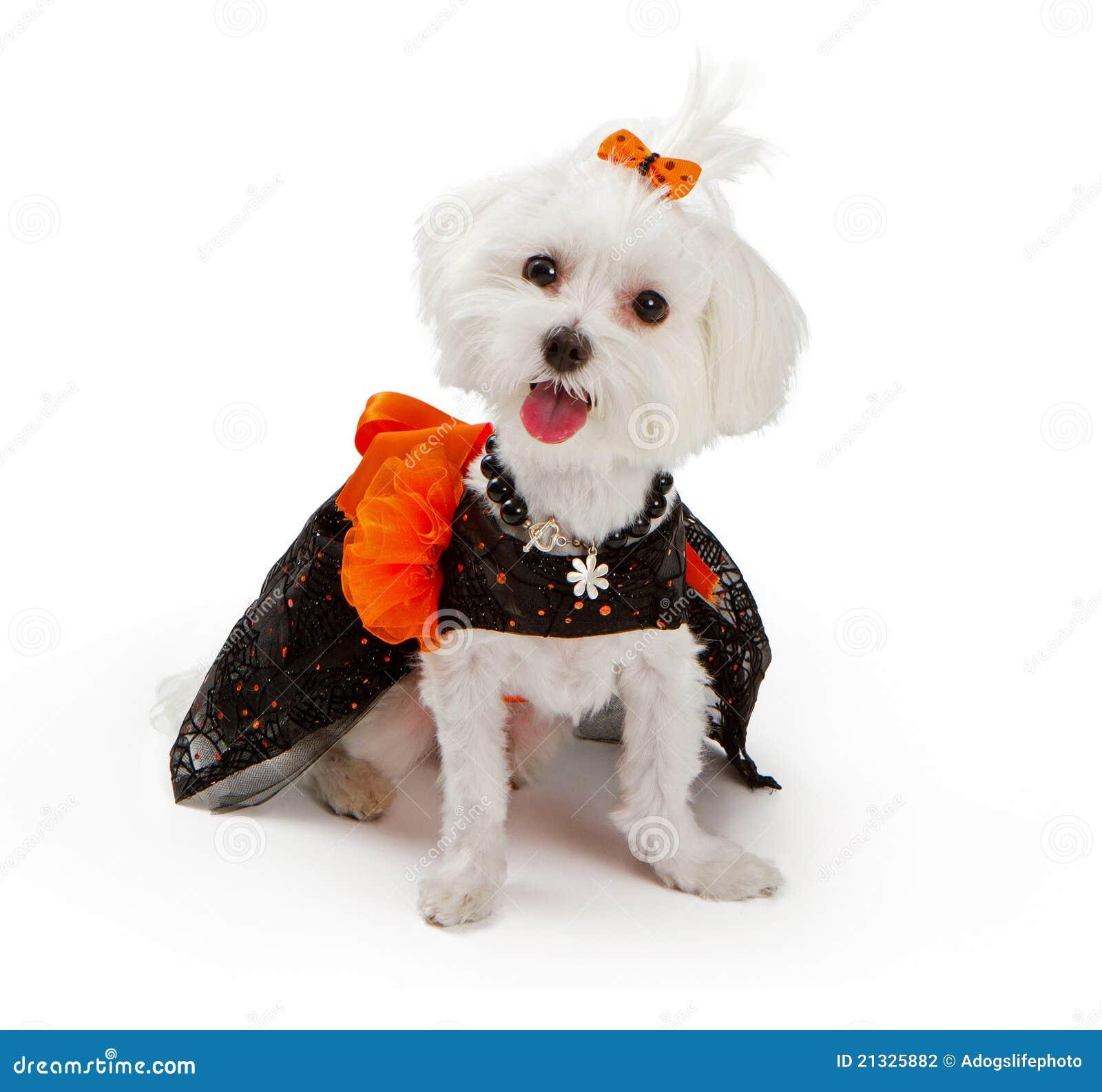 Maltesischer Hund Der Halloween Kostum Tragt Stockfoto Bild Von