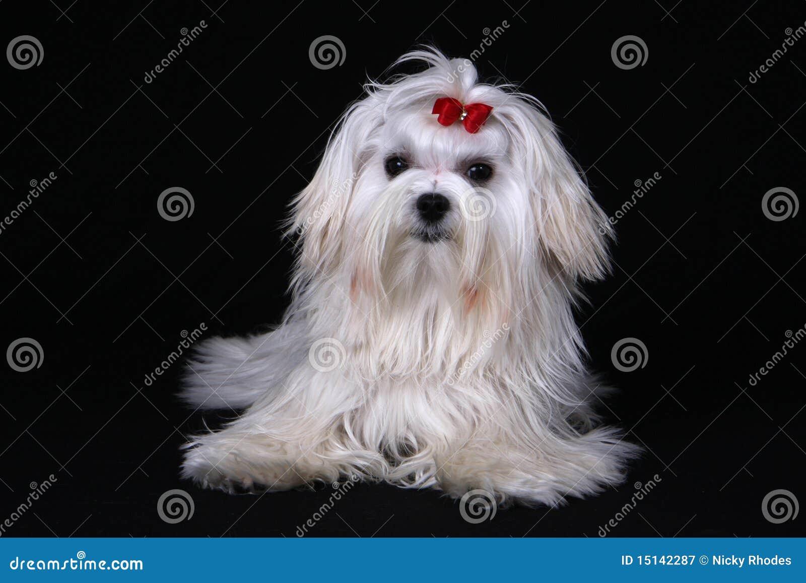 Maltesischer Hund gesessen auf schwarzem Hintergrund