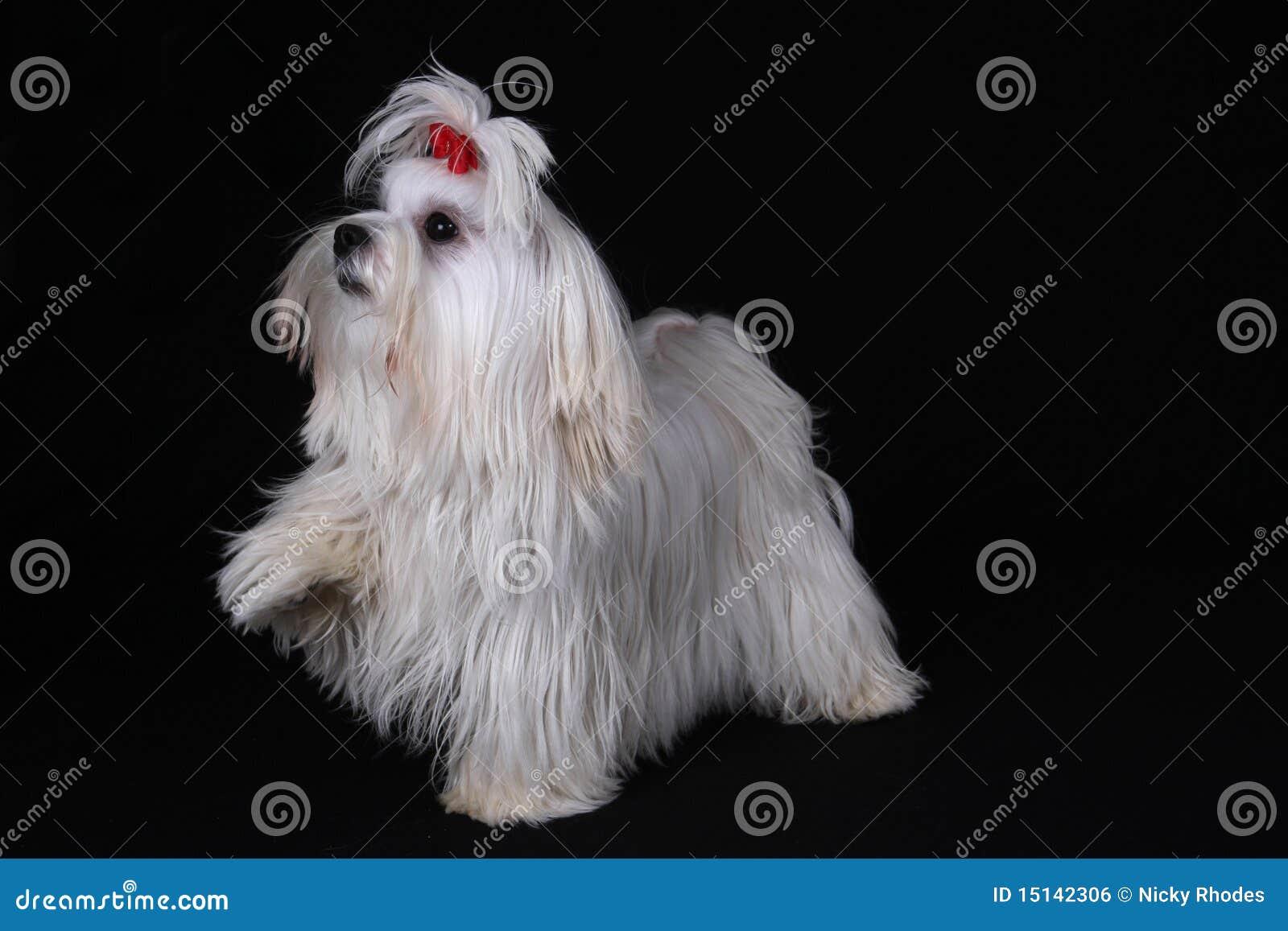 Maltesischer Hund mit dem Fuß angehoben