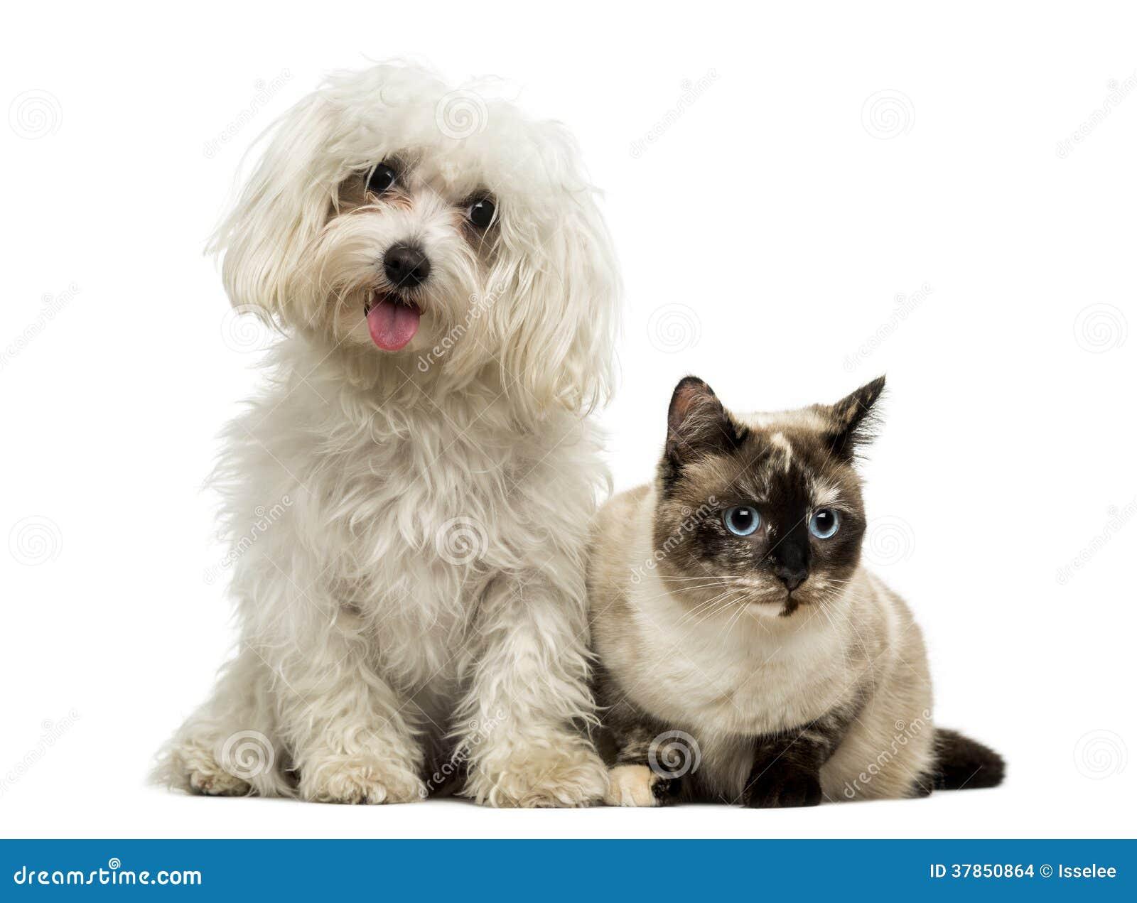 Maltesisches Keuchen und Birman-Katze