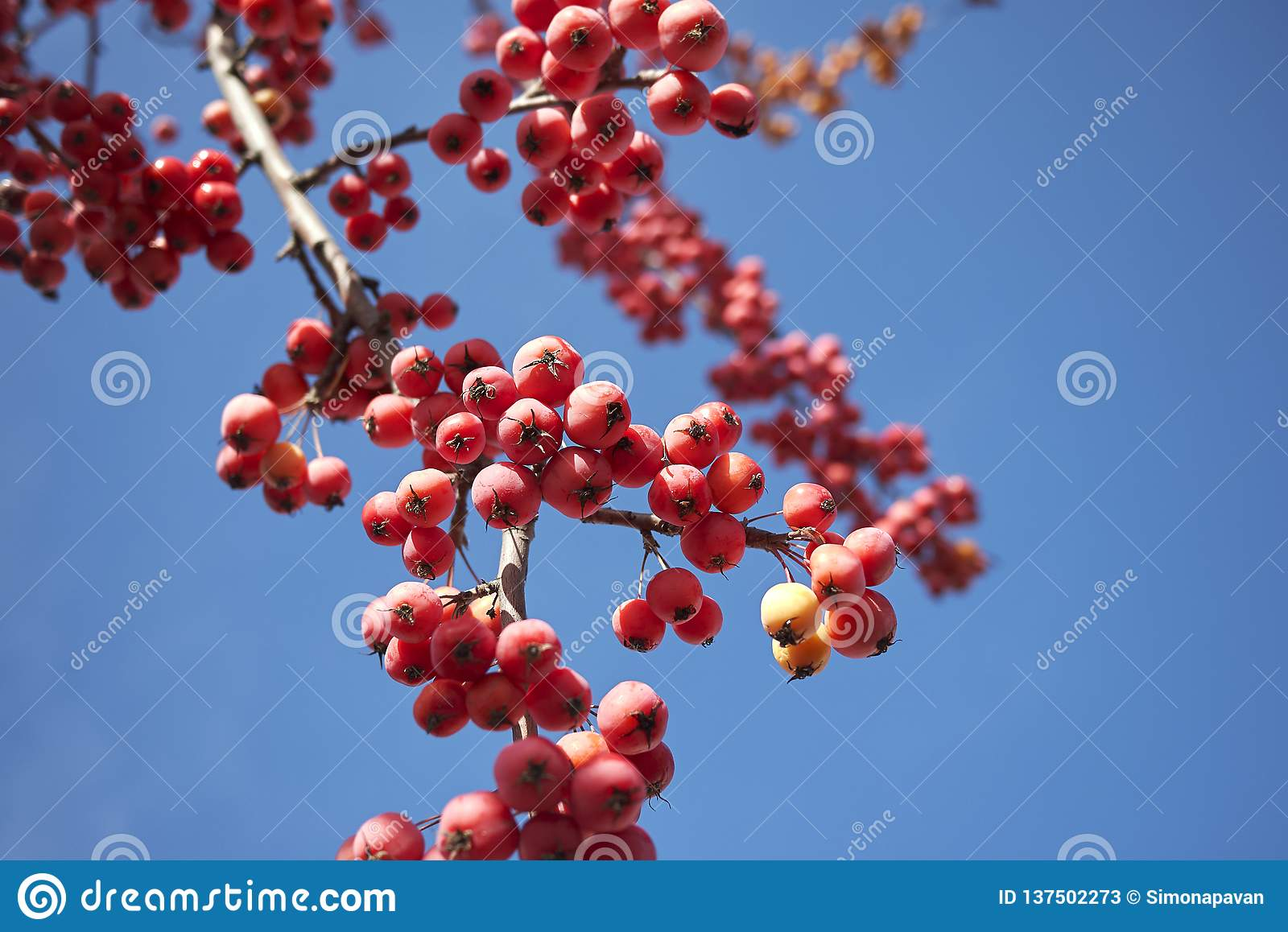 Crab Apple With Red Fruit