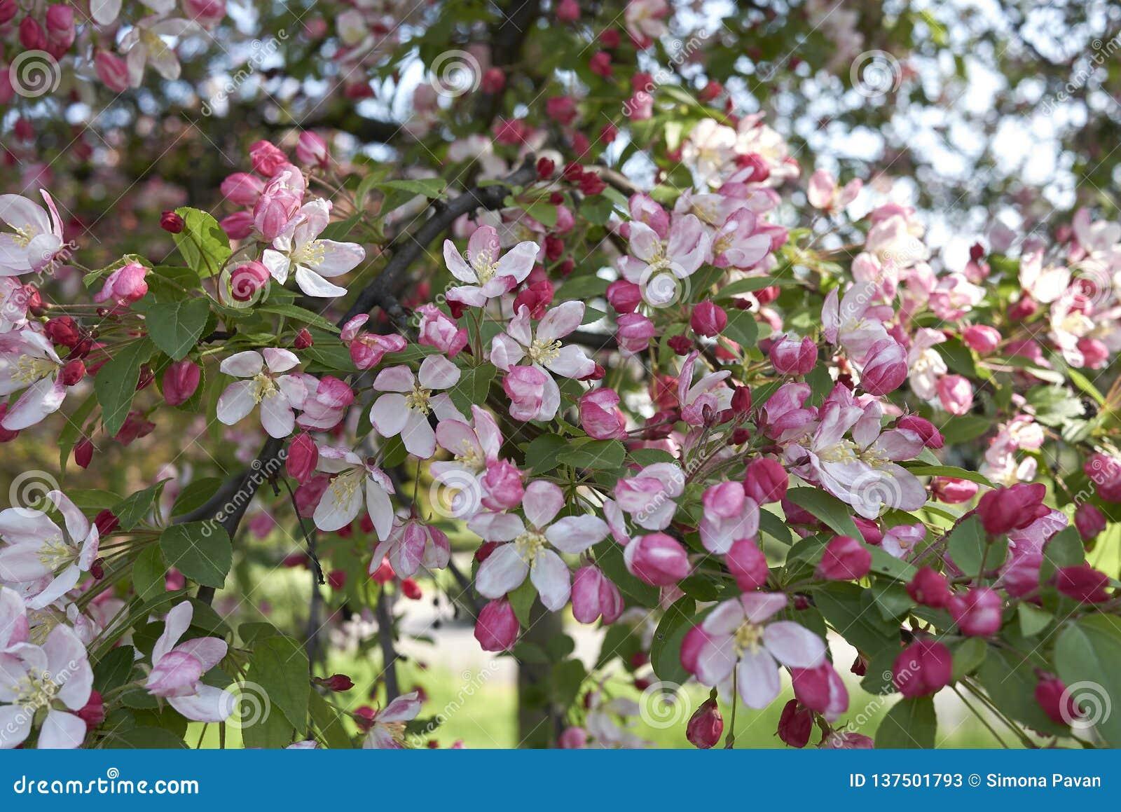 Malus Floribunda Pink And White Blossom Stock Image Image Of