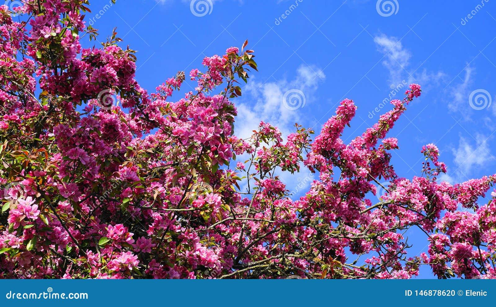 MalusroyaltyCrabapple tr?d med pr?liga och ljusa blommor mot bakgrund f?r bl? himmel fj?der f?r foto f?r ?ppleblomningtr?dg?rd