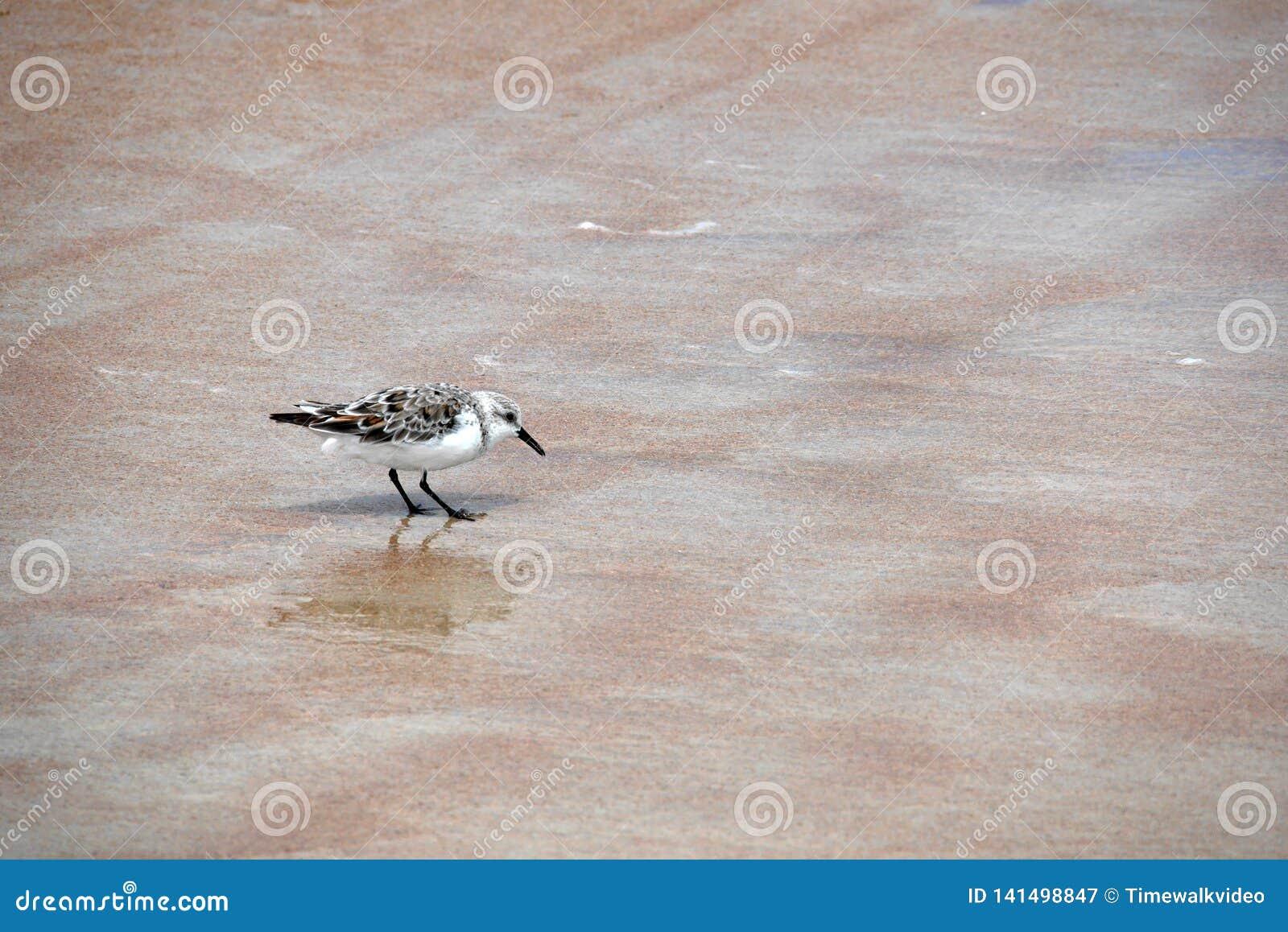 Malutcy biali ptaków wyborów kawałki jedzenie od piaska