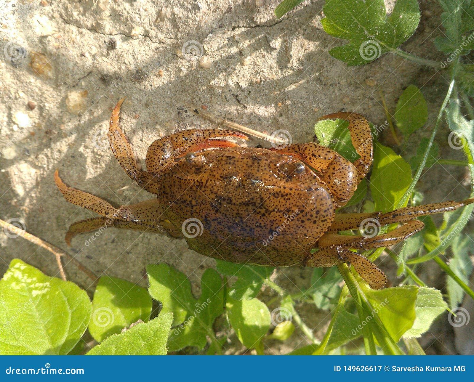 Malutki krab z wielką ciało teksturą