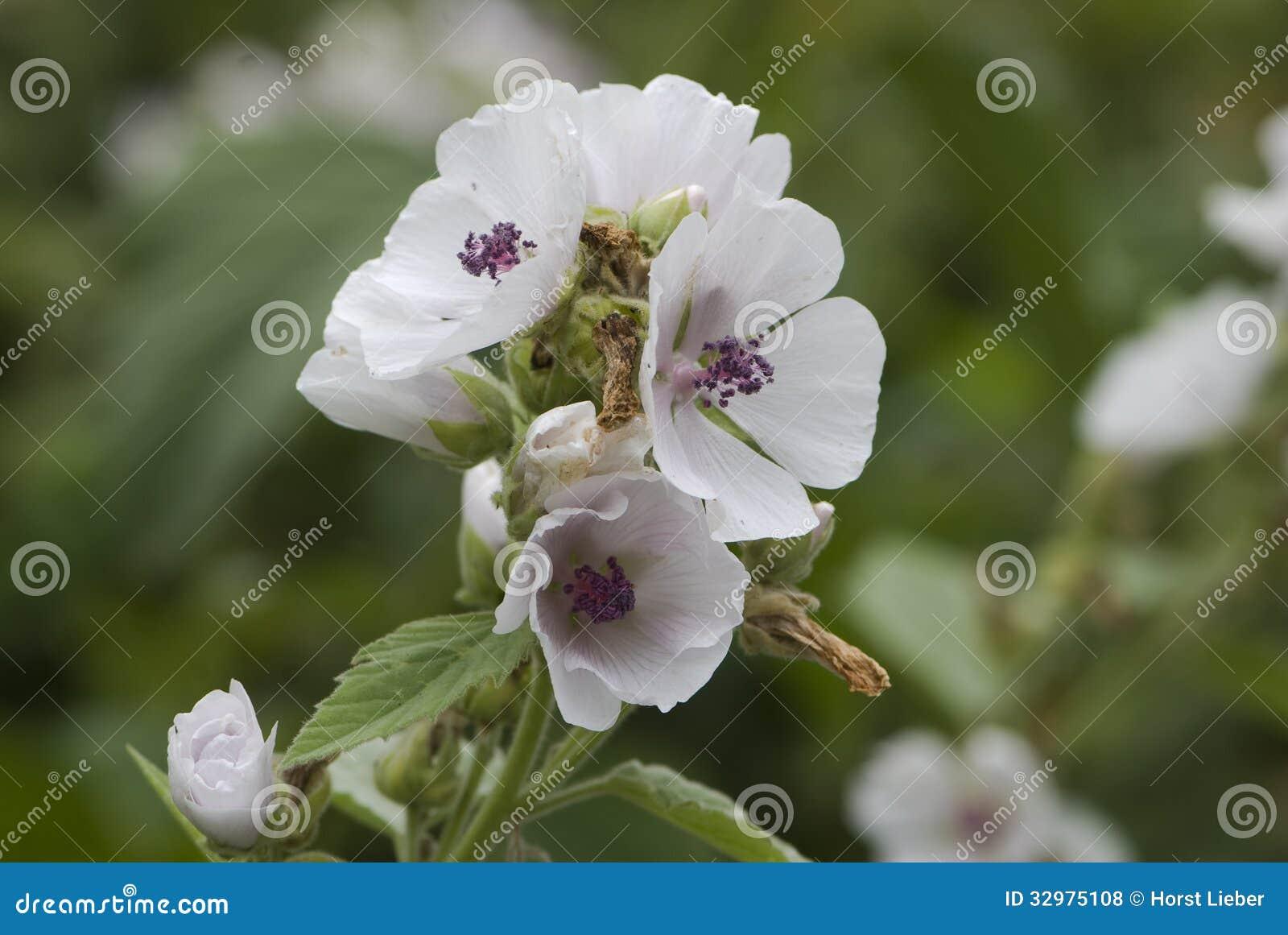 Malva de pantano (officinalis) del althaea 06