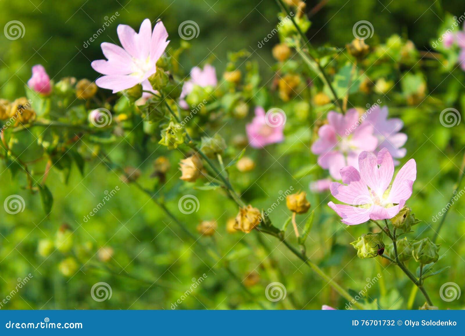 Malva del rosa salvaje