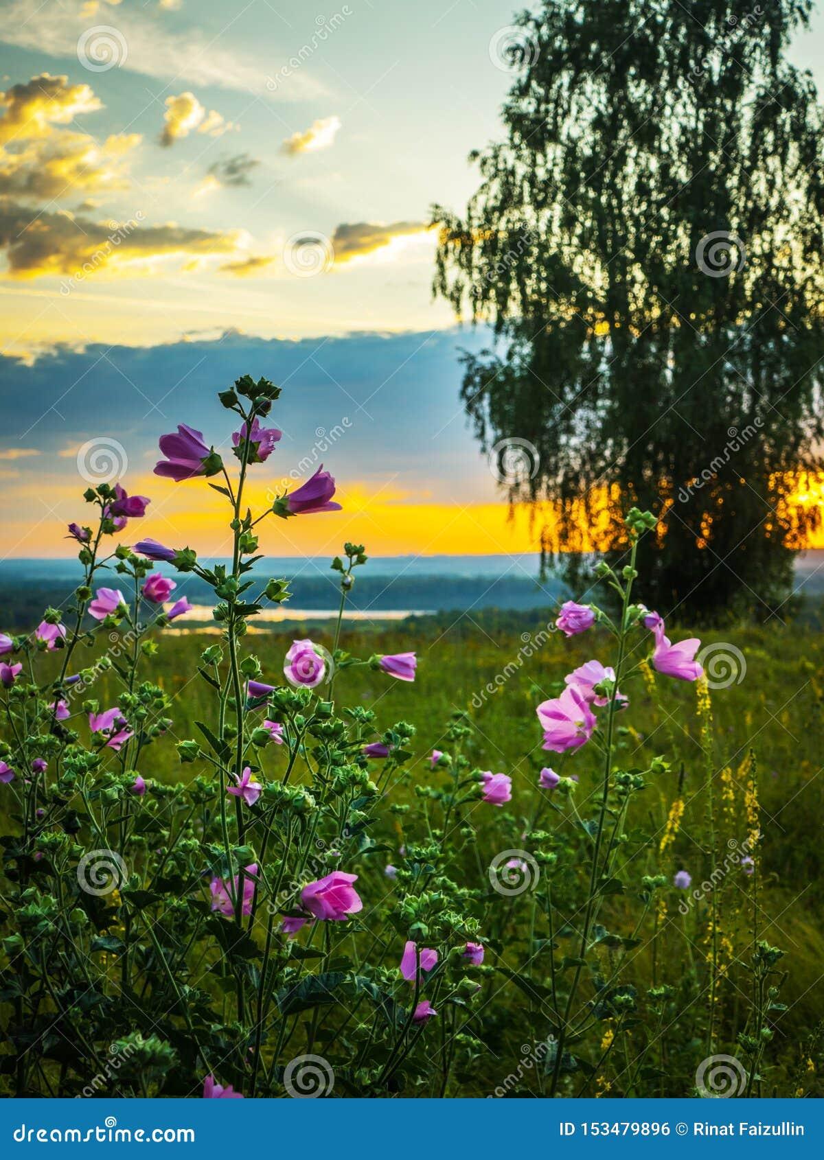 Malva floreciente en el amanecer