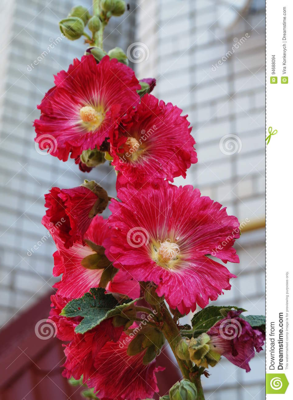 Malva With Red Flowers And A Yellow Center Stock Photo Image Of